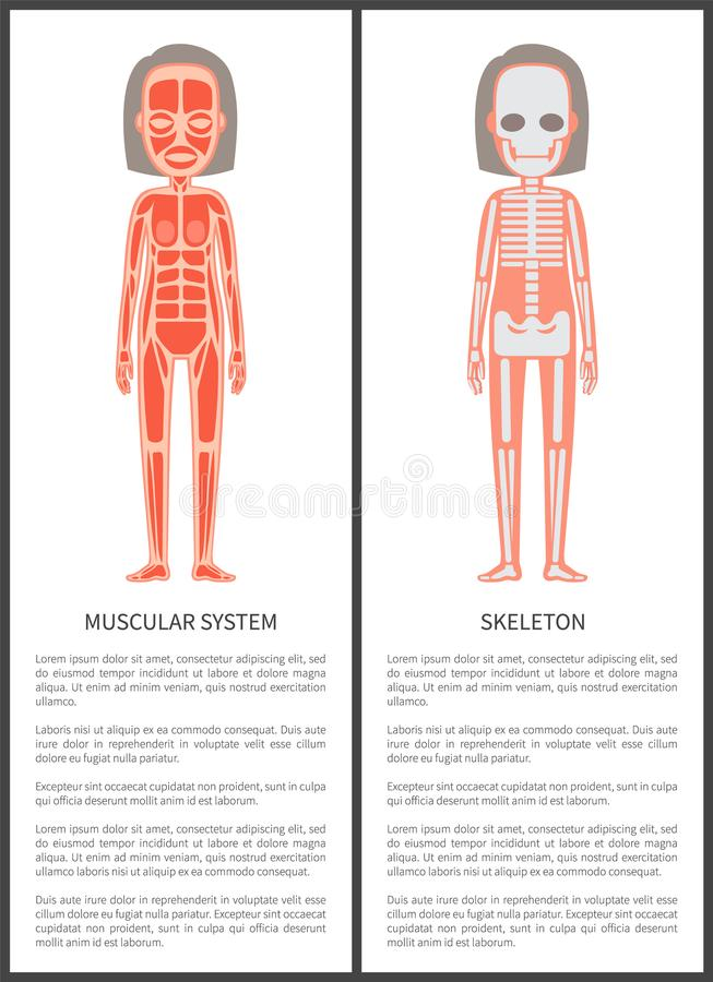 Muscular System and Female Skeleton Colorful Card royalty free illustration