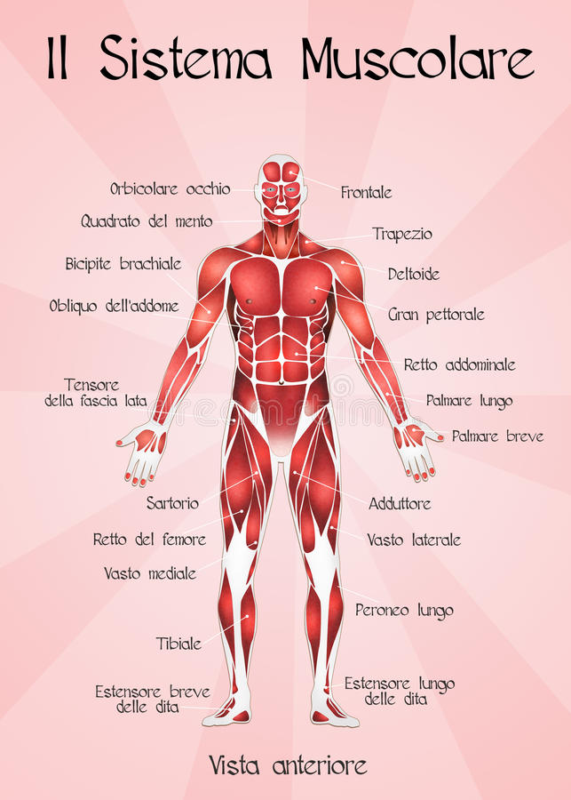 Muscular System Stock Illustration  Illustration Of Sport