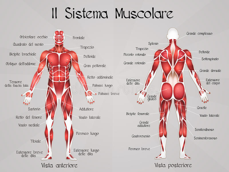 The Muscular System Stock Illustration Illustration Of Muscles