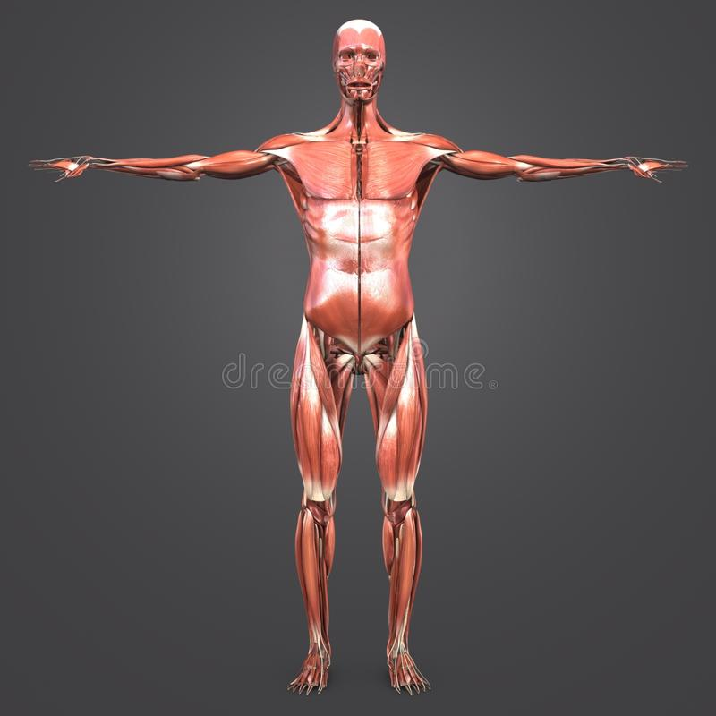 Human Muscular Anatomy Anterior view vector illustration