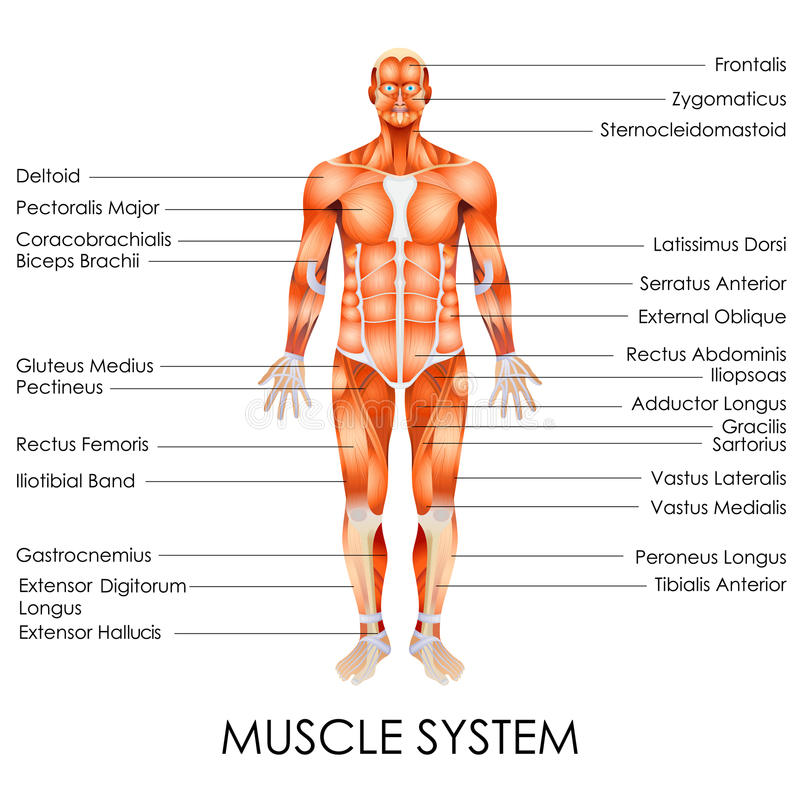 Muscular System stock vector. Illustration of education - 39773572