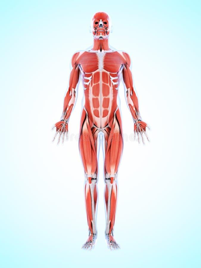 A musculatura masculina ilustração do vetor