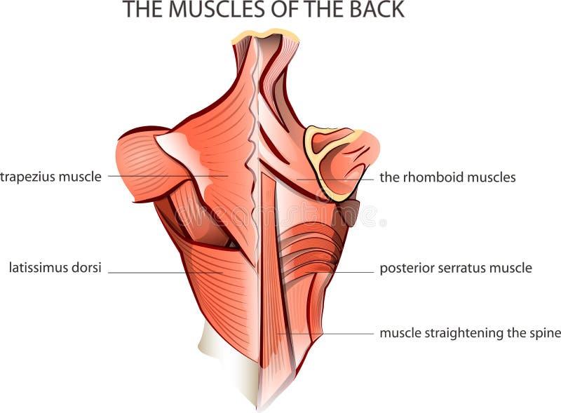 Muscules der Rückseite vektor abbildung