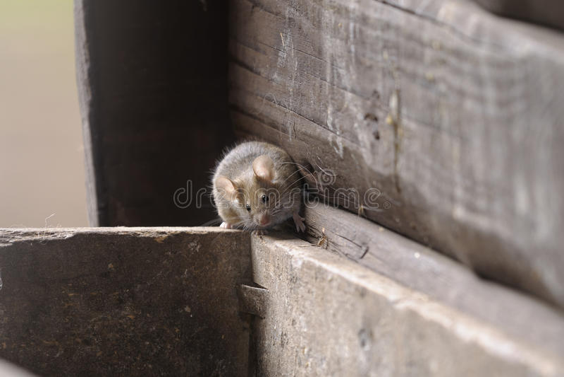 musculus мыши дома domesticus стоковые фото