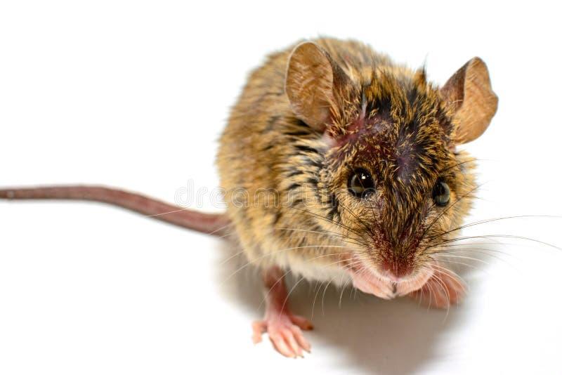 Musculus de Mus do rato de casa no fundo branco imagens de stock