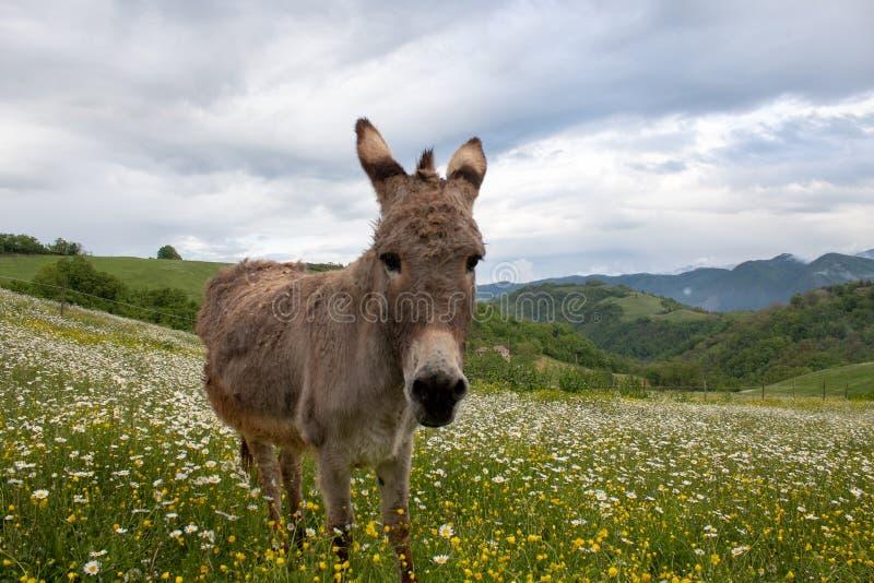Museau d'âne très étroitement : image animale drôle photographie stock