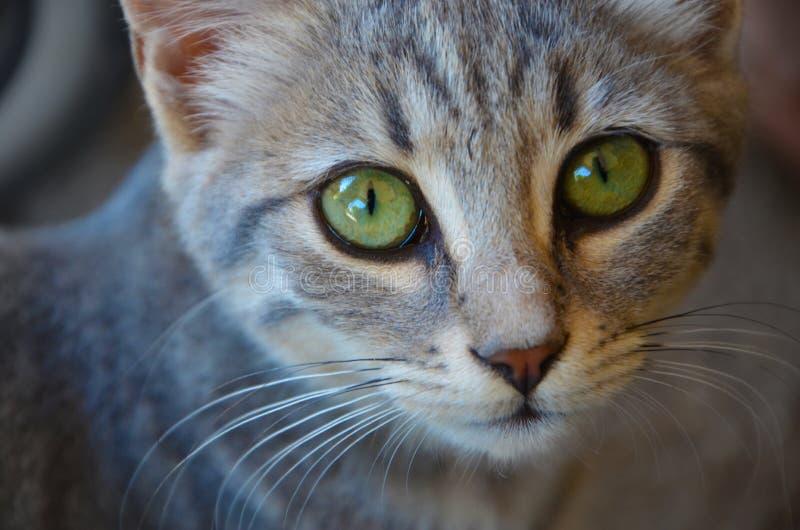 Museau d 39 un chat tigr gris avec les yeux verts vibrants image stock image du museau vert - Yeux vert gris ...