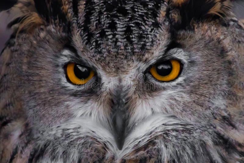 Museau d'un plan rapproché de duc de duc, des yeux énormes et d'un regard fâché étonné d'un oiseau de proie somnolent photographie stock