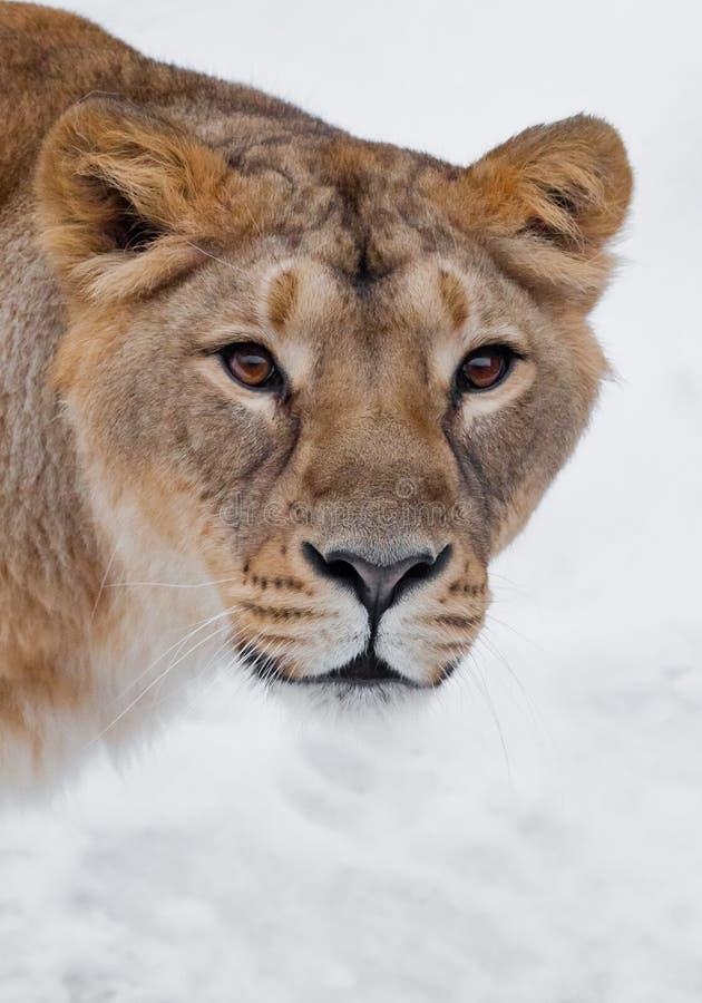 Museau d'un plan rapproché femelle de lion de lionne, droite prédatrice de yeux bruns affamés passionnés avides de sembler à vous photographie stock