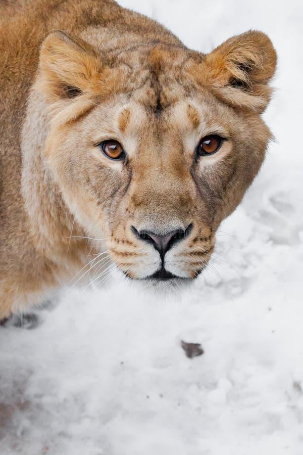Museau d'un plan rapproché femelle de lion de lionne, droite prédatrice de yeux bruns affamés passionnés avides de sembler à vous photos libres de droits