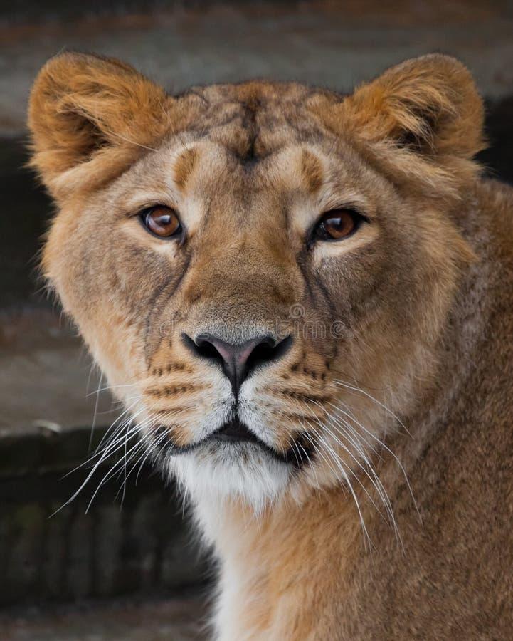 Museau d'une fin de lionne, beaux yeux jaune-orange Remboursement in fine photographie stock
