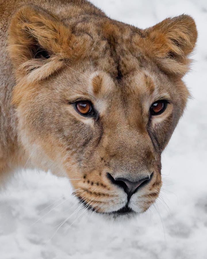 Museau d'une fin de lionne, beaux yeux jaune-orange Sur un fond blanc image libre de droits