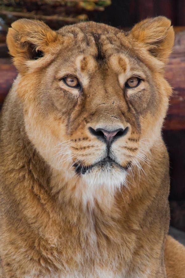 Museau d'une fin de lionne, grand chat prédateur dans le cadre entier portrait - très en gros plan images libres de droits