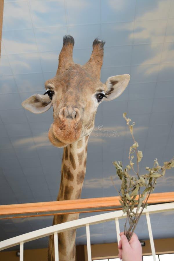 Museau d'une girafe sur un long cou photos libres de droits
