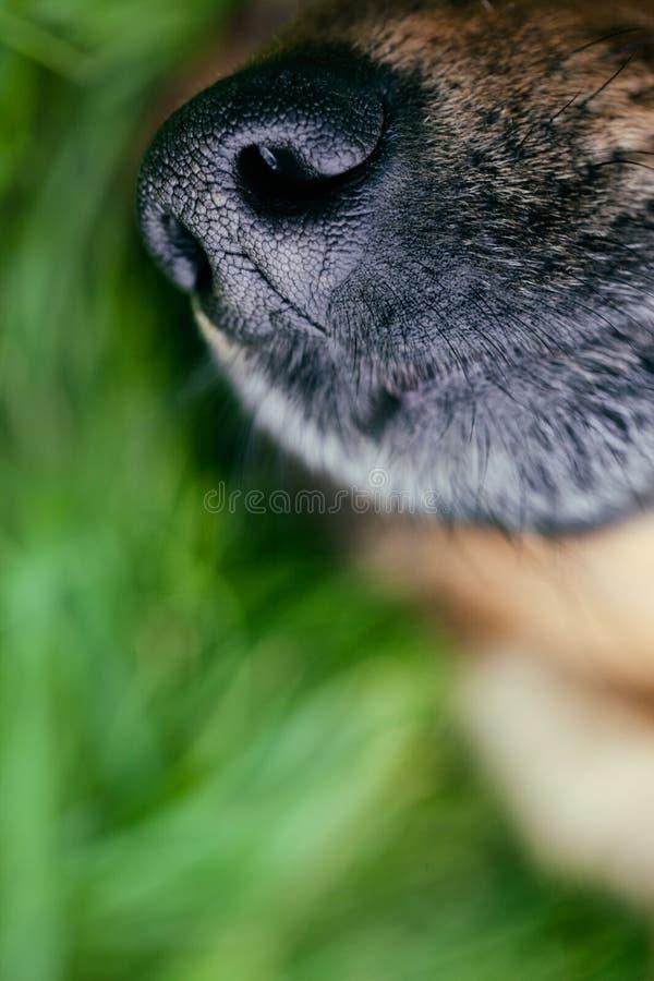 Museau de chien image libre de droits