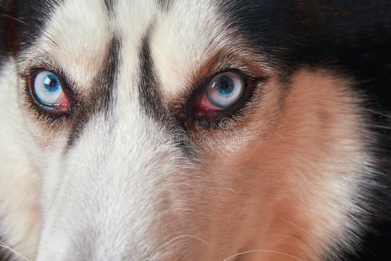 Museau de plan rapproché aux yeux bleus de chien de traîneau sibérien Le chien enroué regarde l'appareil-photo photo stock