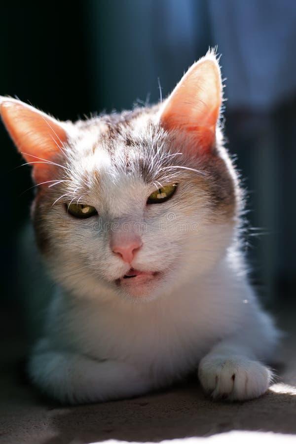 Museau drôle d'un animal familier Chat grincheux photographie stock