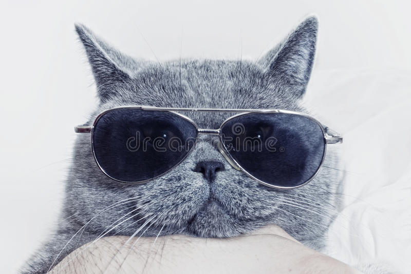 Museau drôle de chat gris dans des lunettes de soleil photo libre de droits