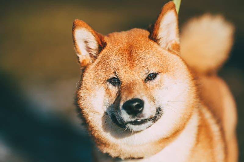 Museau principal haut étroit du beau jeune chien rouge de Shiba Inu extérieur photo stock