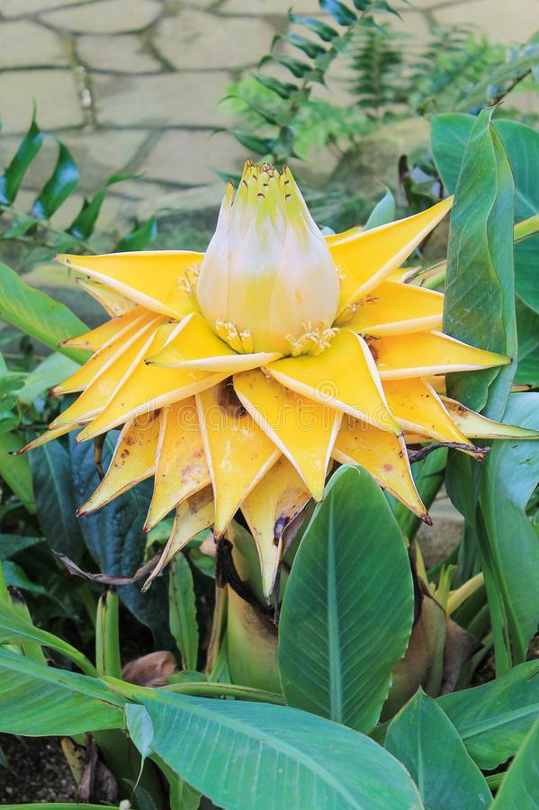 Musella lasiocarpa - Golden Lotus Banana Flower or Chinese Dwarf Banana Flower royalty free stock photos