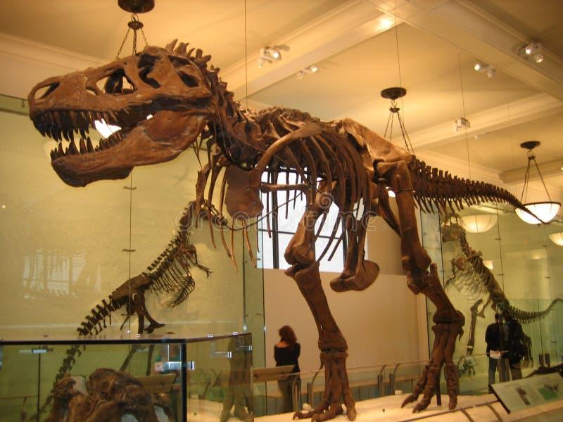 Museo americano di storia naturale, dinosauro, tirannosauro, attrazione turistica, estinzione fotografie stock libere da diritti