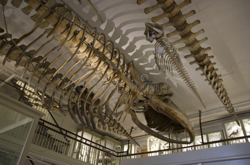 Museo de Harvard de los esqueletos del dinosaurio de la historia natural imagen de archivo