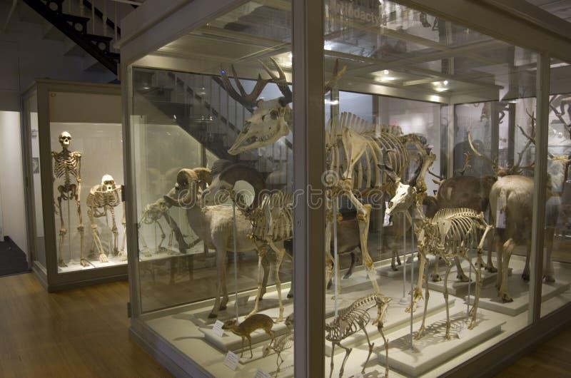 Museo de Harvard de los esqueletos del dinosaurio de la historia natural fotografía de archivo