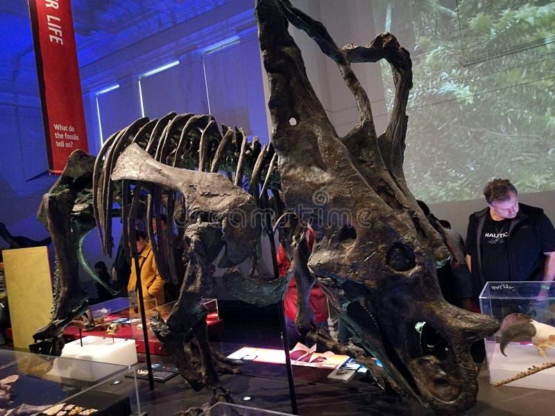Museo del australiano de Fossil@ del dinosaurio imagen de archivo