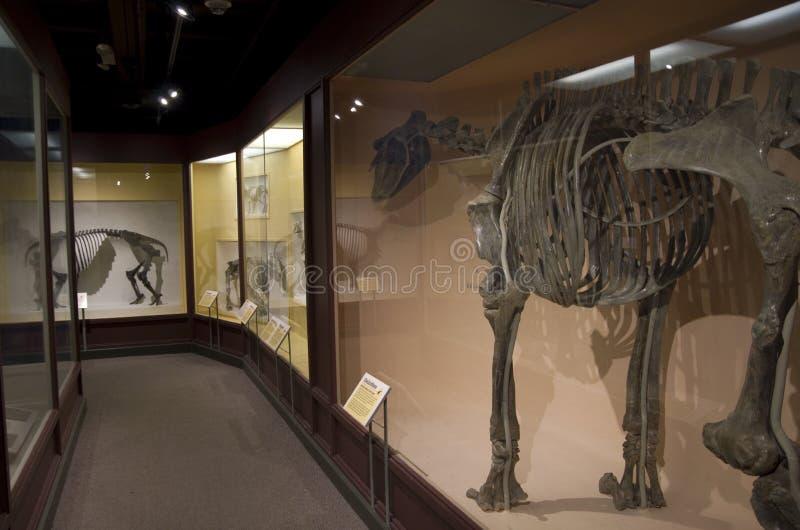 Museo di Harvard degli scheletri del dinosauro di storia naturale immagine stock libera da diritti