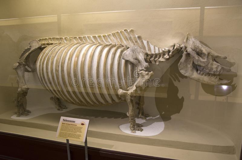 Museo di Harvard degli scheletri del dinosauro di storia naturale fotografia stock libera da diritti