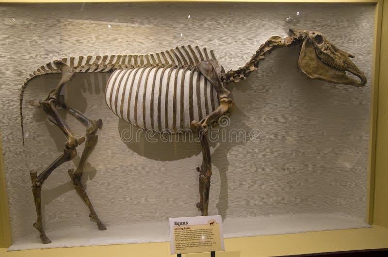 Museo di Harvard degli scheletri del dinosauro di storia naturale fotografie stock libere da diritti