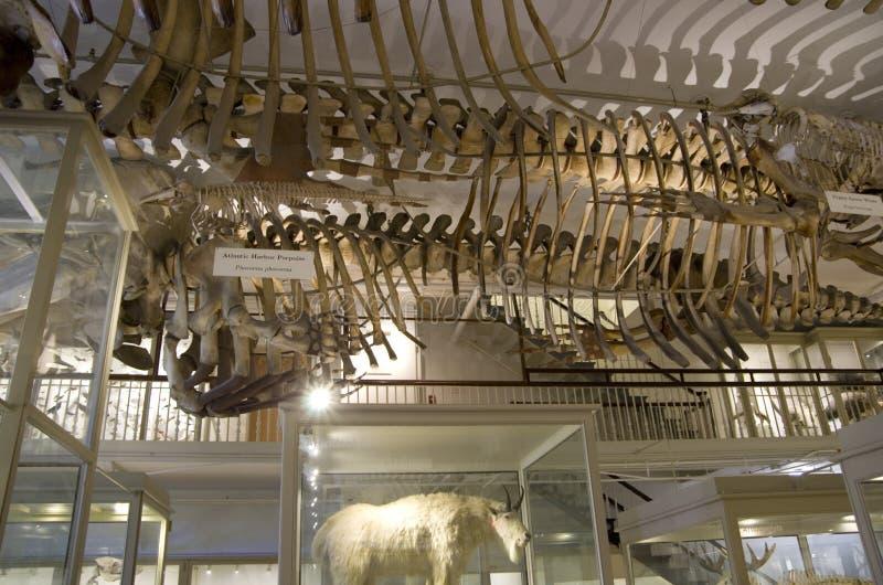 Museo di Harvard degli scheletri del dinosauro di storia naturale immagini stock libere da diritti