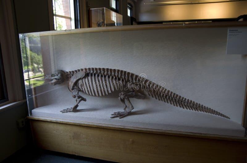 Museo di Harvard degli scheletri del dinosauro di storia naturale fotografia stock
