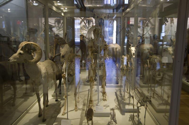 Museo di Harvard degli scheletri del dinosauro di storia naturale immagini stock