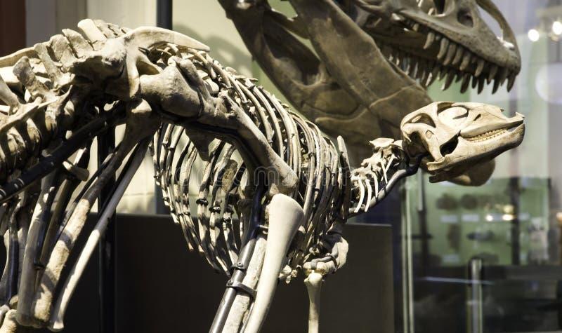 Museo paleontológico en Berlín imagen de archivo libre de regalías