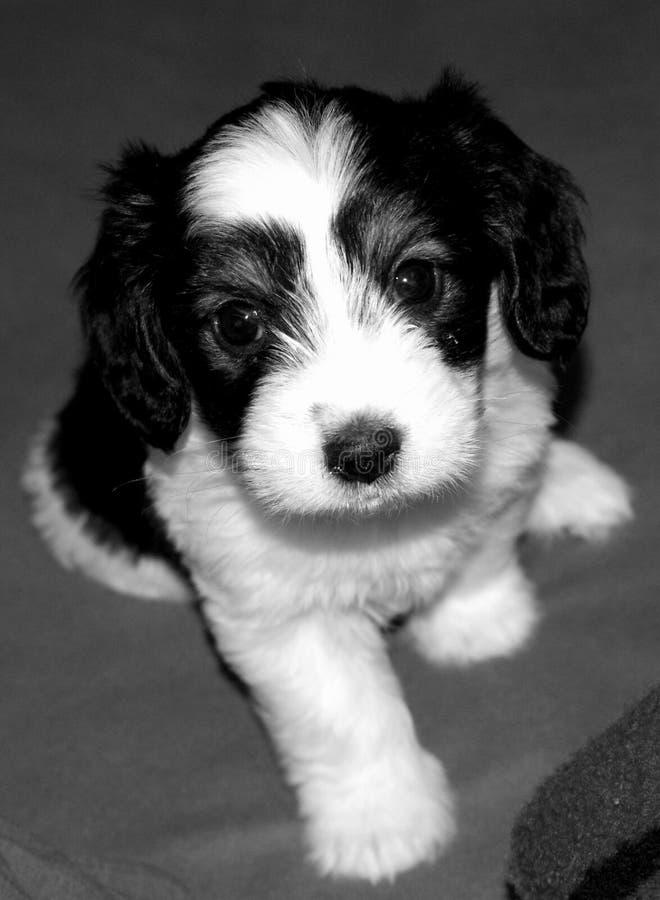 Museruola adorabile degli occhi di tesoro del piccolo cane dell'animale domestico felice sveglio bianco e nero del cucciolo fotografie stock