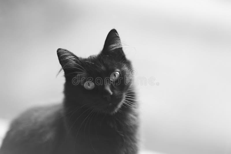 Museruola adorabile di giovane gatto lanuginoso nero fotografia stock
