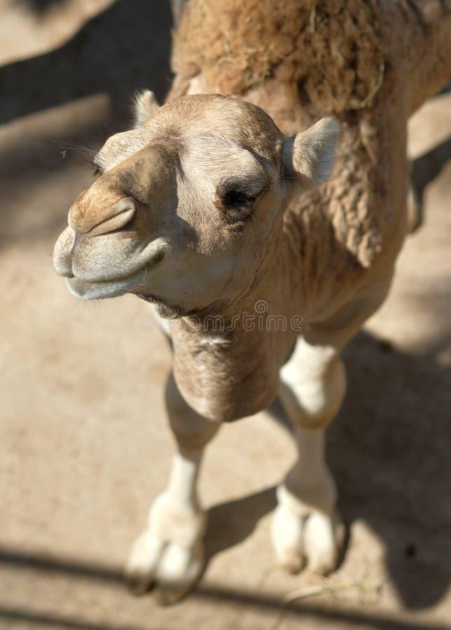 Museruola alta vicina del cammello divertente immagini stock
