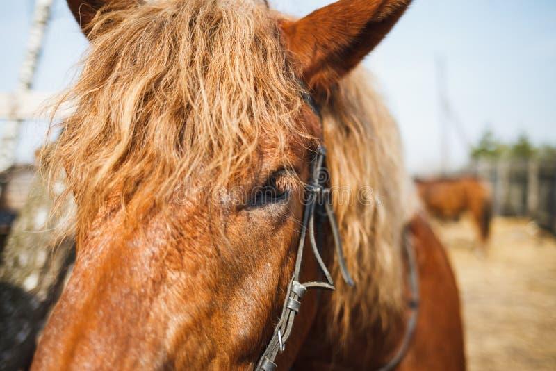 Museruola della fine riccia rossa del cavallo su Occhi del cavallo fotografia stock