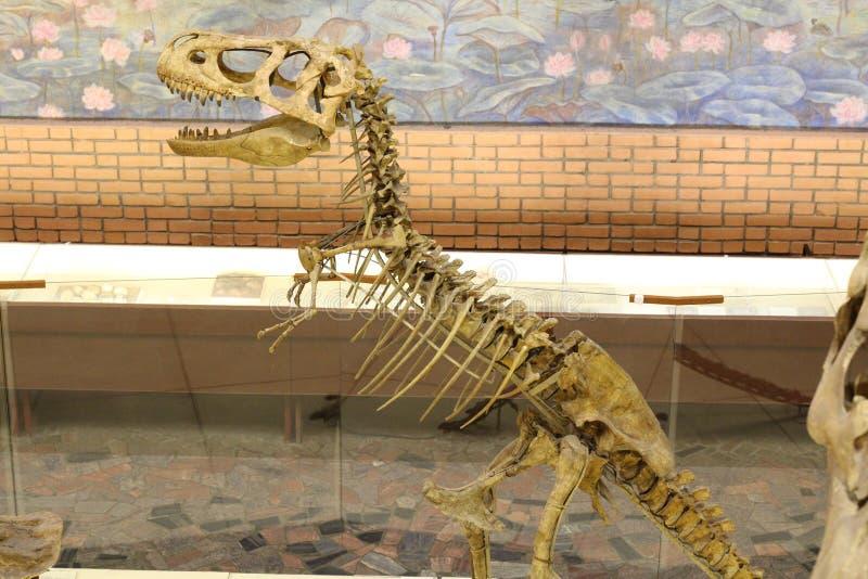 Museu Paleontological Cr?nios e esqueletos dos dinossauros imagem de stock