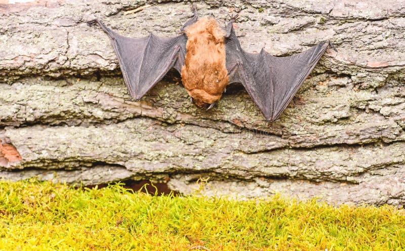 Museum der Natur S?ugetiere nat?rlich f?hig zum wahren und nachhaltigen Flug Augen schlagen Spezieskleines schlecht entwickelt hi lizenzfreies stockbild