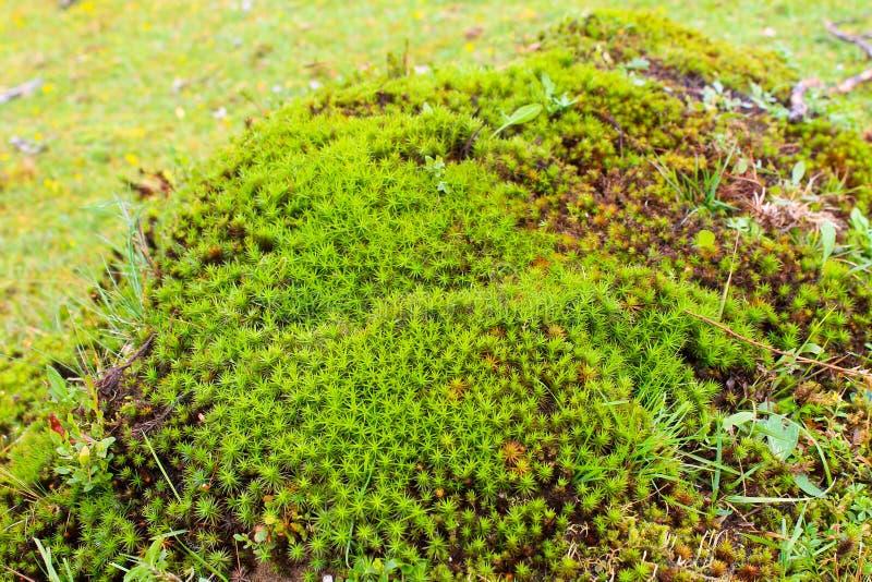 Musgo comum do haircap, musgo da estrela (comuna de Polytrichum) fotos de stock