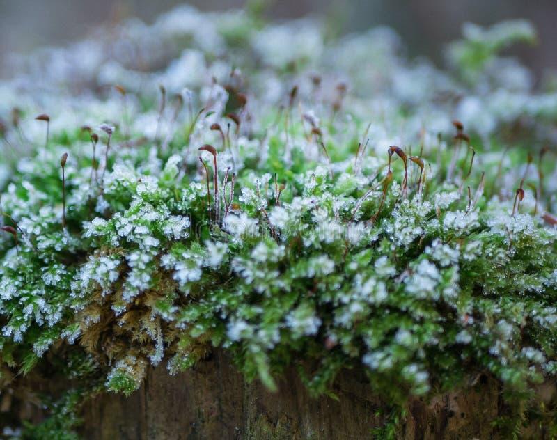 Musgo congelado em um coto de árvore na mola imagem de stock royalty free