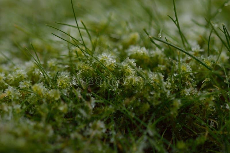 Musgo congelado entre la hierba foto de archivo libre de regalías