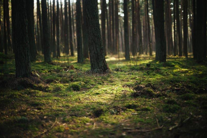Musgo de incandescência nas madeiras fotografia de stock