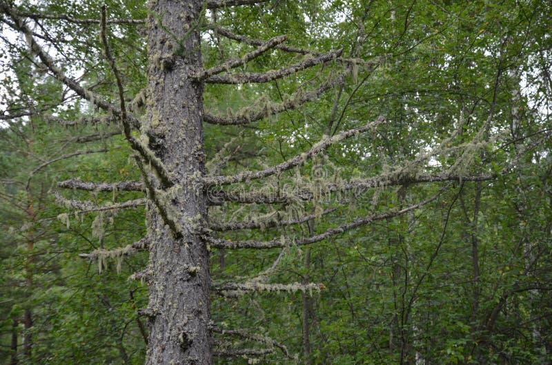 Musgo de la ejecución en árboles fotos de archivo