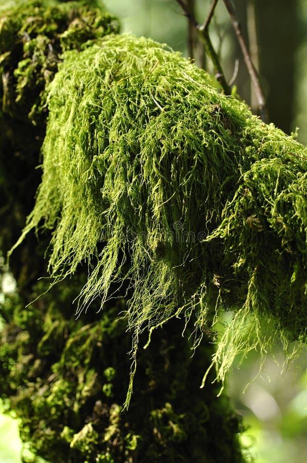 Musgo del bosque imagenes de archivo