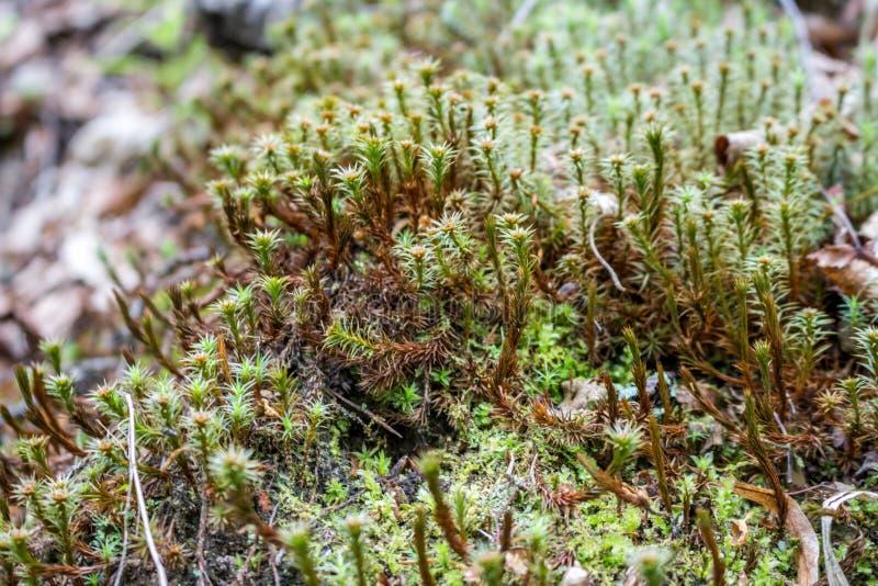 Musgo del bosque, día de primavera foto de archivo