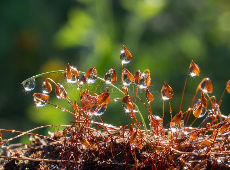 Musgo do close up com feixes de Sun na floresta foto de stock
