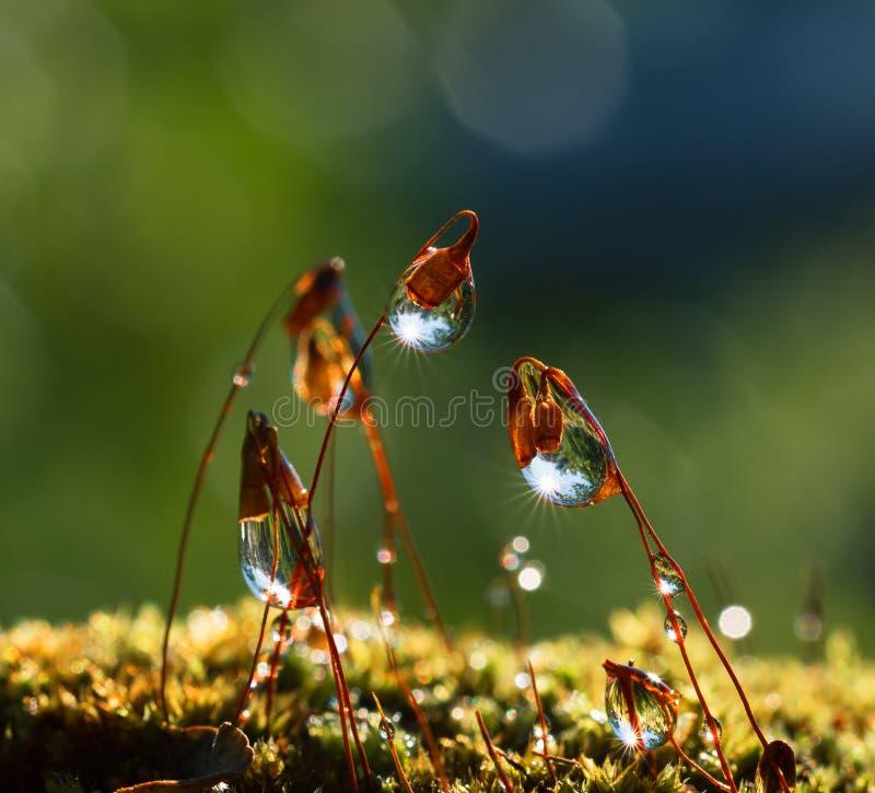 Musgo do close up com feixes de Sun na floresta imagem de stock